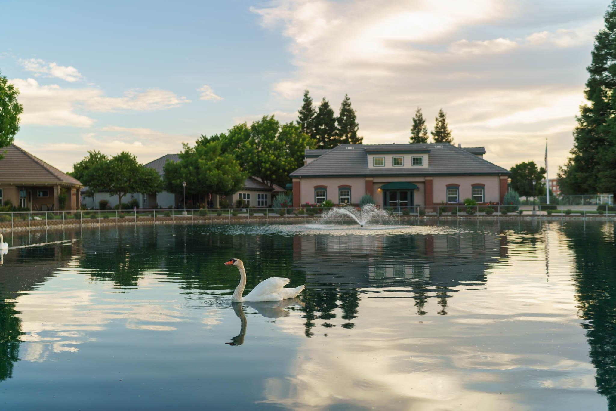 Swan Swimming in Sierra Village Lake